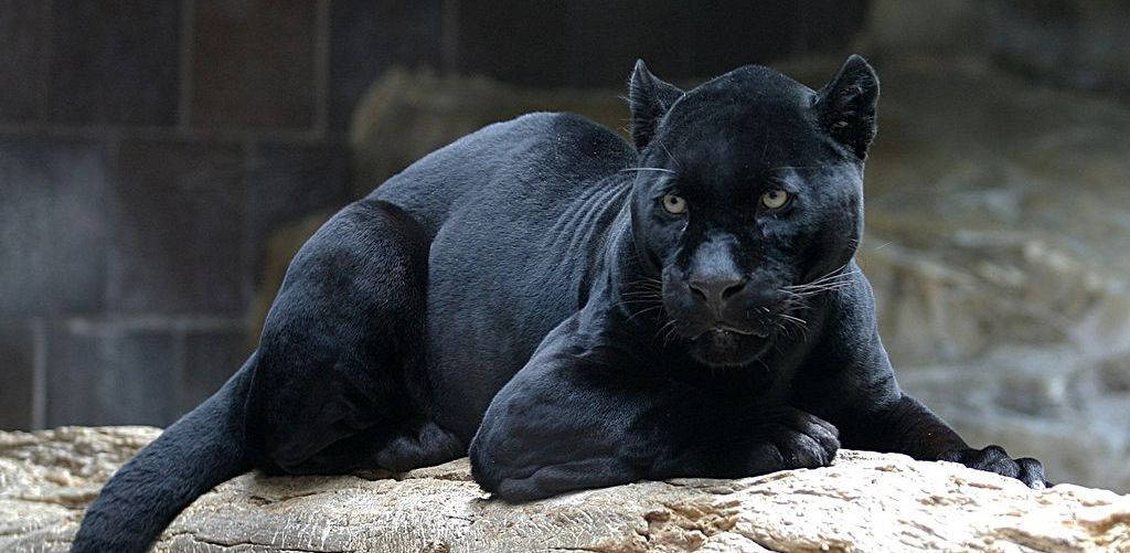 Panther Background