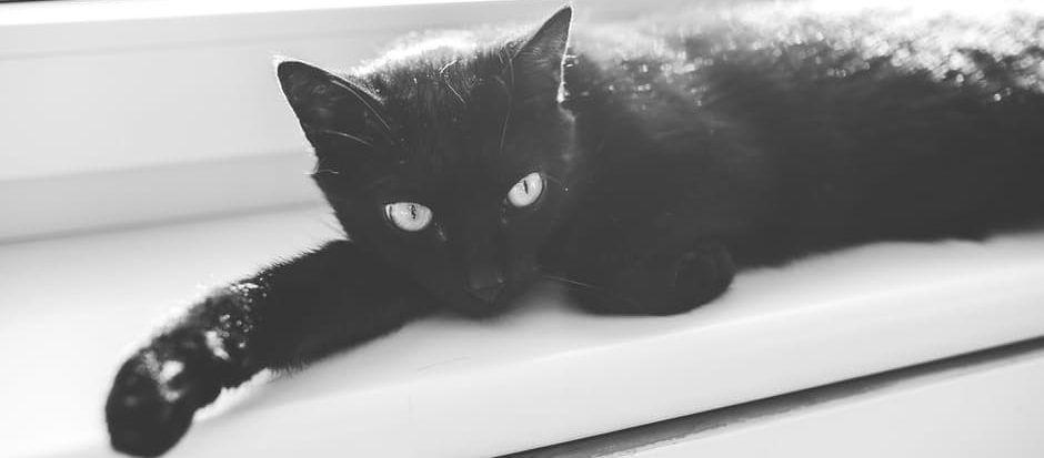 black cat - animals / fauna category
