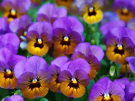 Pansy Image