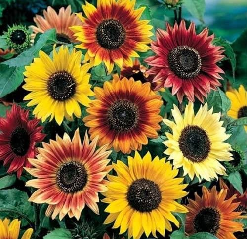 Sunflower Petal Colors - Sunflowers Backgrounds